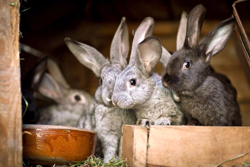 Досвід та перспективи використання АВМКК «Живина» в годівлі кроликів