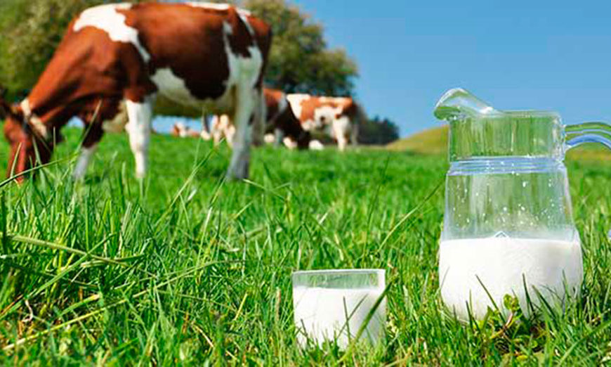 Застосування Живини у молочному скотарстві